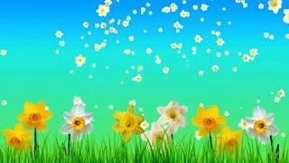 Футаж цветочный Нарциссы. Красивый фон для видео-монтажа