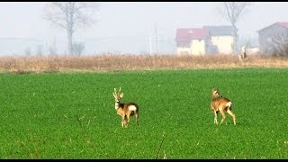 Caprioare pe campul dintre Clinceni si Teghes - Deers on the field