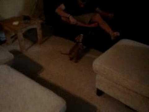 vicious pitbull attack