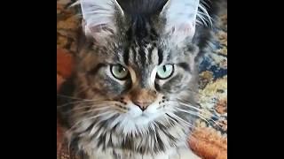 Мечты сбываются!!! Моя царица!!! Моя котЭйка по кличке Грейси!!!
