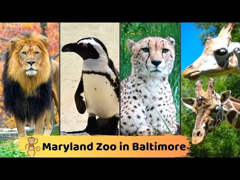 Maryland Zoo In Baltimore || Meet Them All At The Maryland Zoo || Full Tour || Best Documentary
