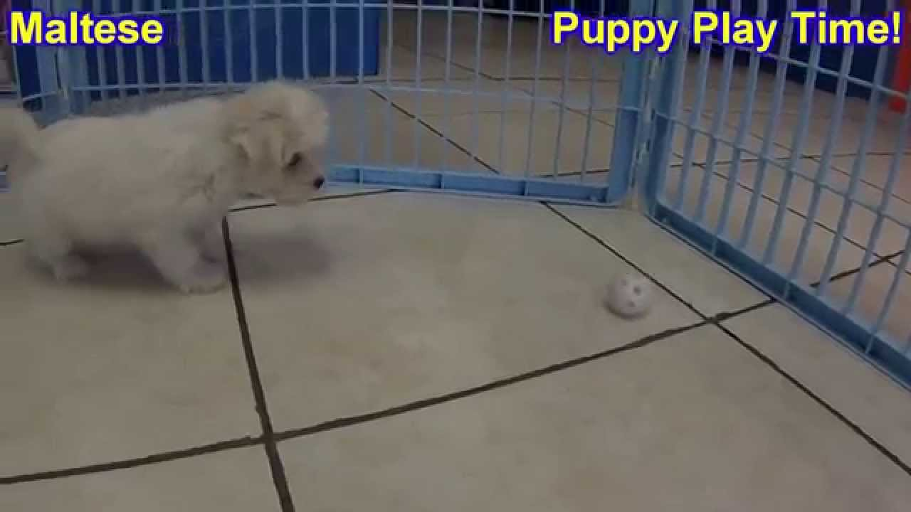 Maltese, Puppies, Dogs, For Sale, In Tampa, Florida, FL ...