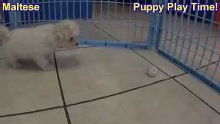 Maltese, Puppies, For, Sale, In, Tampa, Florida,fl,st Petersburg,clearwater,