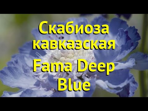 Скабиоза кавказская Фама дип блю. Краткий обзор scabiosa columbaria fama deep blue Fama Deep Blue