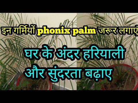 Phonix palm लगाएं घर के अंदर हरियाली और सुंदरता दोनों बढ़ाएं, how to care and maintain Phonix palm