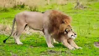 The Lion couple  Mates more times a day