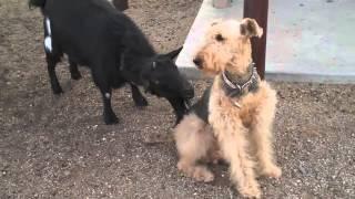 козёл и собака