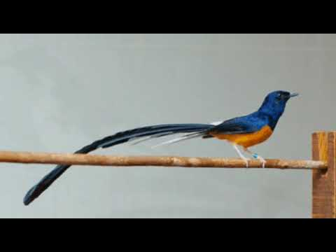 Terapi semua jenis burung bahan agar cepat bunyi gacor.