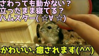 ハムスター 癒し ペット かわいい おもしろ 面白い 立ったまま動かない笑 ジャンガリアン thumbnail
