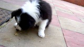 Scamp Border Collie 8 weeks old