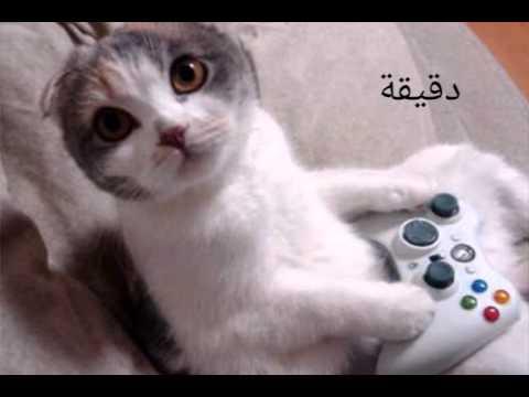 Le Chat Algerien