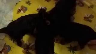 Щенки йоркширского терьера - кормление