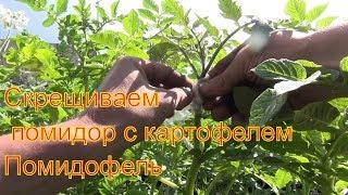 Помидофель скрещиваем помидор с картофелем картофемидор 9 июля 2017 Сибирь огород дача сад Томак
