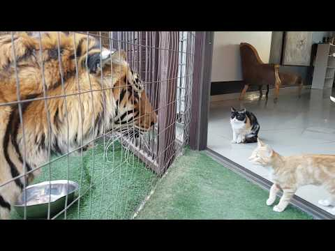 Thumbnail: Mother cat looking out for kittens safety by the tigers