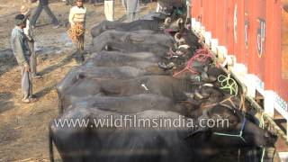 Buffaloes tied to a truck, having been sold in India