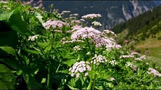Корень Бедренец-камнеломка - лечебные и полезные свойства лекарственного растения.