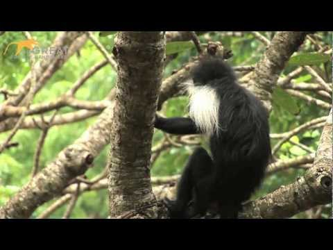 Meet the Worlds First Hand-reared Angolan Black and White Colobus monkey