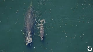 SAM WATERSTON PSA: Only about 360 North Atlantic Right Whales Remain | Oceana