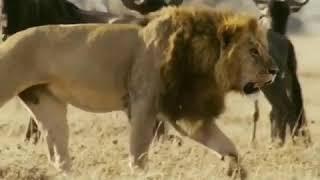 هيبة الاسد #طبيعة #مناظر #حيوانات مفترسه #قطط كبيره