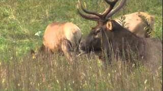 Elk Rut in Cataloochee, Great Smoky Mountains National Park