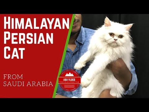 Himalayan Persian Cat from Saudi Arabia | Price, cost of maintenance, grooming, vaccination, food