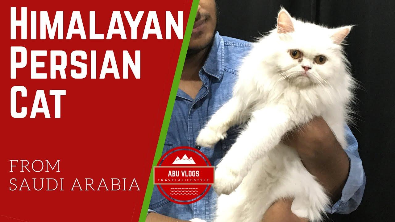 Himalayan Persian Cat From Saudi Arabia Price Cost Of Maintenance Grooming Vaccination Food Youtube