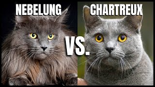Nebelung Cat VS. Chartreux Cat
