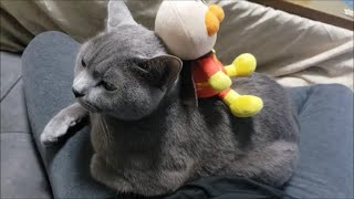 珍しく「されるがまま」の灰色猫すずまろ