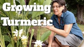 Growing Turmeric Plants in Australia