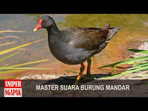 MASTER SUARA BURUNG MANDAR - 30 MENIT