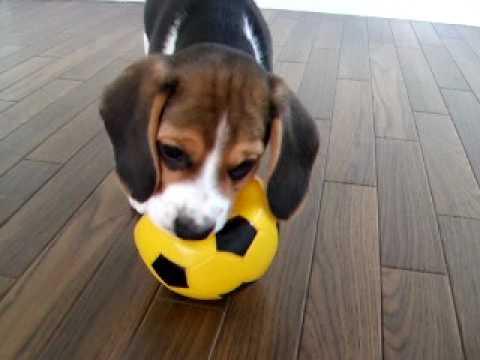 Resultado de imagen para beagle ball