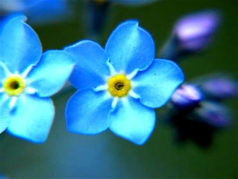Forget me not flowers youtube forget me not flowers ccuart Image collections