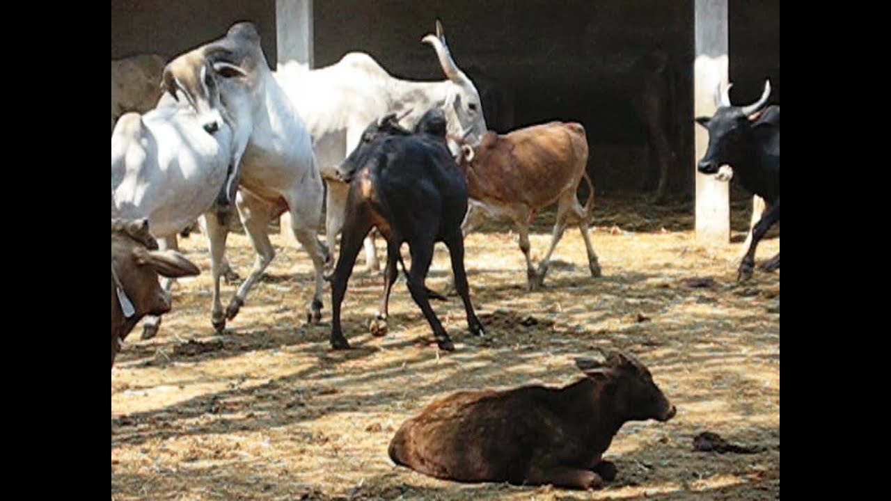 Mating of amruth mahal cow, bulls frenzy - YouTube