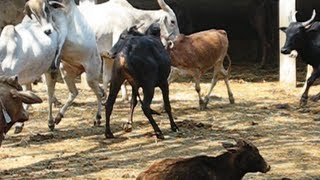 Video Mating of amruth mahal cow, bulls frenzy download MP3, 3GP, MP4, WEBM, AVI, FLV Juni 2018