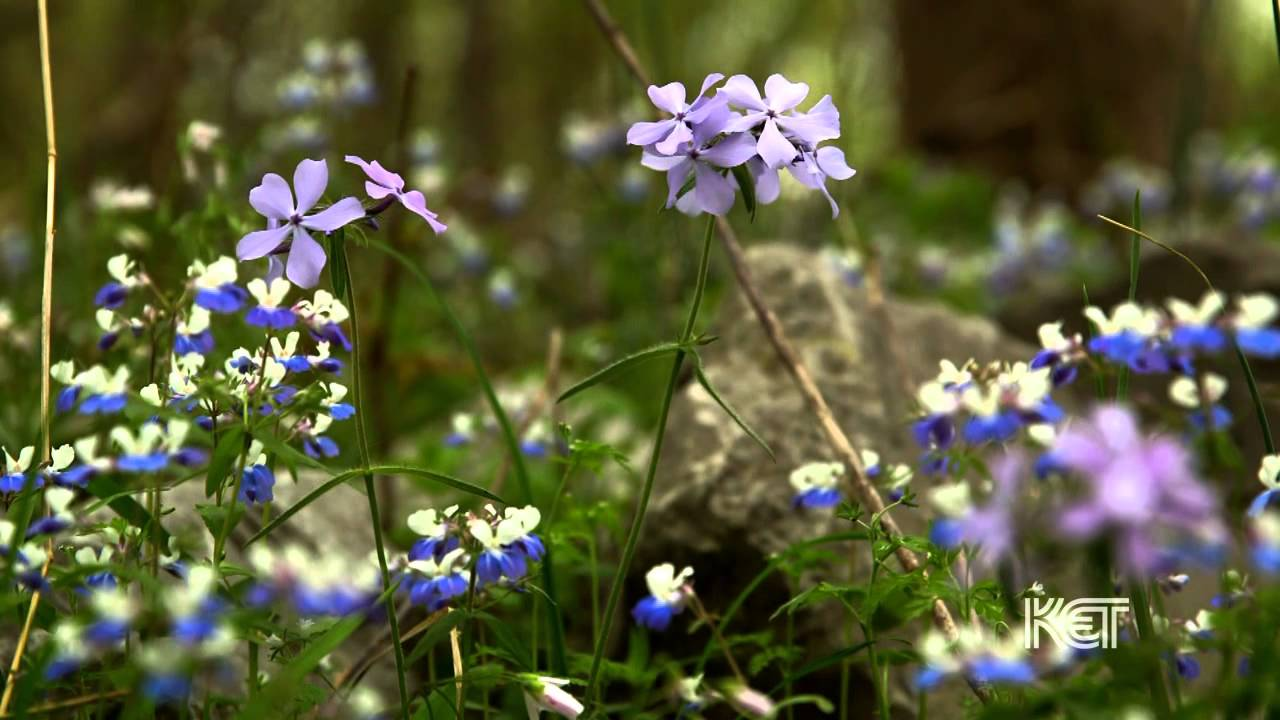 Spring wildflowers kentucky life ket youtube spring wildflowers kentucky life ket mightylinksfo