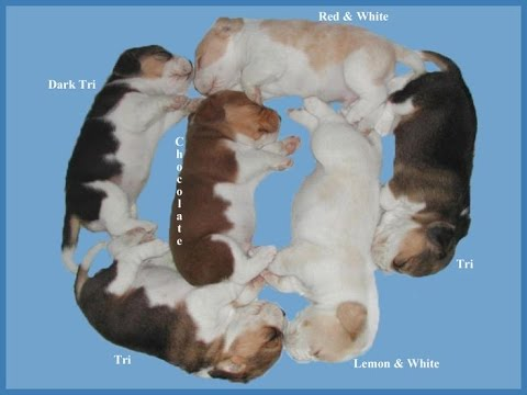 Beagle colors