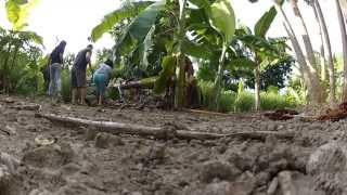 Saba Banana Cebu Philippines