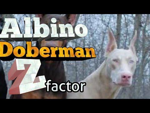 Albino Doberman Pinschers - The Z Factor