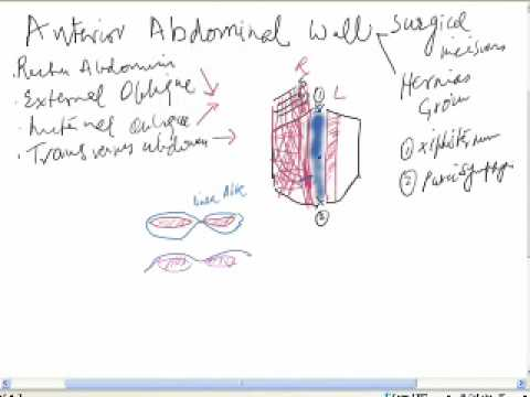 anterior abdominal wall- surgical anatomy - YouTube