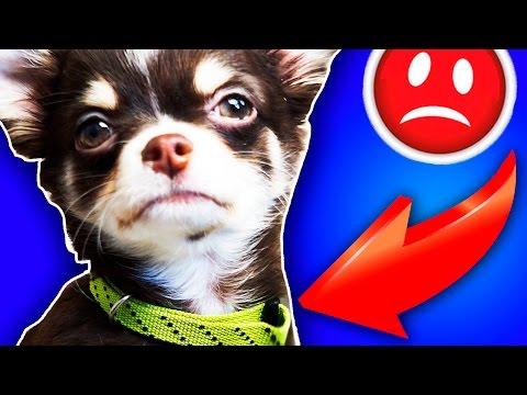 ЩЕНОК ПРОПАЛ! Моя история, первая реакция собаки на ошейник, как я приучаю щенка, Magic Family