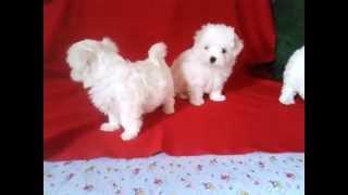 продам щенков мальтийской болонки (мальтезе ОМСК