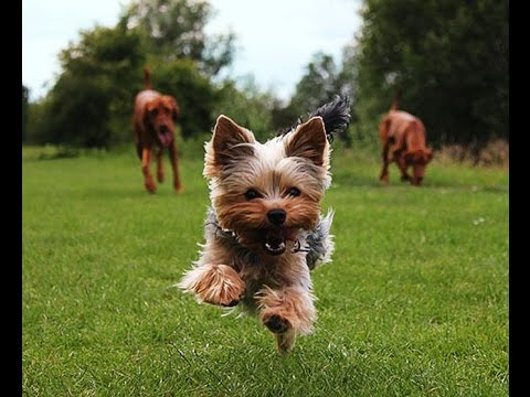 Image result for yorkshire terrier attacking