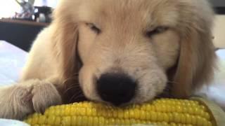 Cute Golden Retriever Puppy Eating Corn