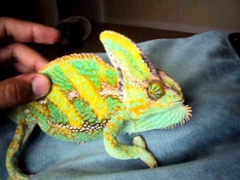 Veiled chameleon - YouTube