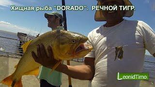 """Аргентина. Хищная рыба """"DORADO"""".  РЕЧНОЙ ТИГР."""