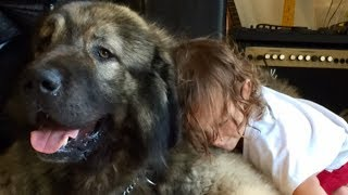 A Caucasian Shepherd Dog is the strongest dog breed in the world! C...