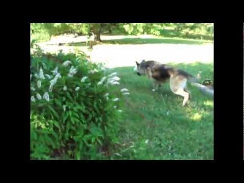 Big Dog Attack on Chickens
