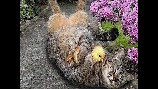 ❄Про кота и петуха.❄Смешное видео/Сat and chicken