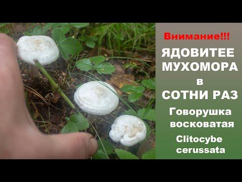 Ядовитее мухомора в сотни раз!!! Говорушка восковатая Clitocybe cerussata