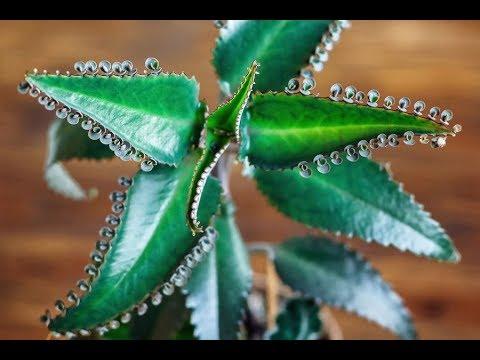 Что сделает с вашим организмом Каланхое?!? ***Растение -лекарь*** Творит чудеса!!!